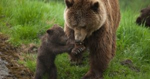 brown-bear-mother-and-cub-play